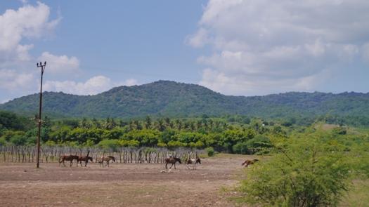 Kawanan kuda, Sumbawa