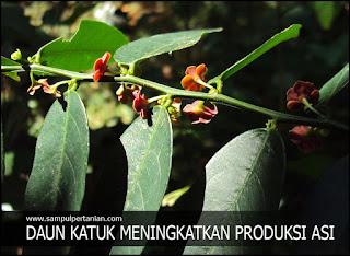 Daun katuk (meningkatkan produksi ASI secara alami)