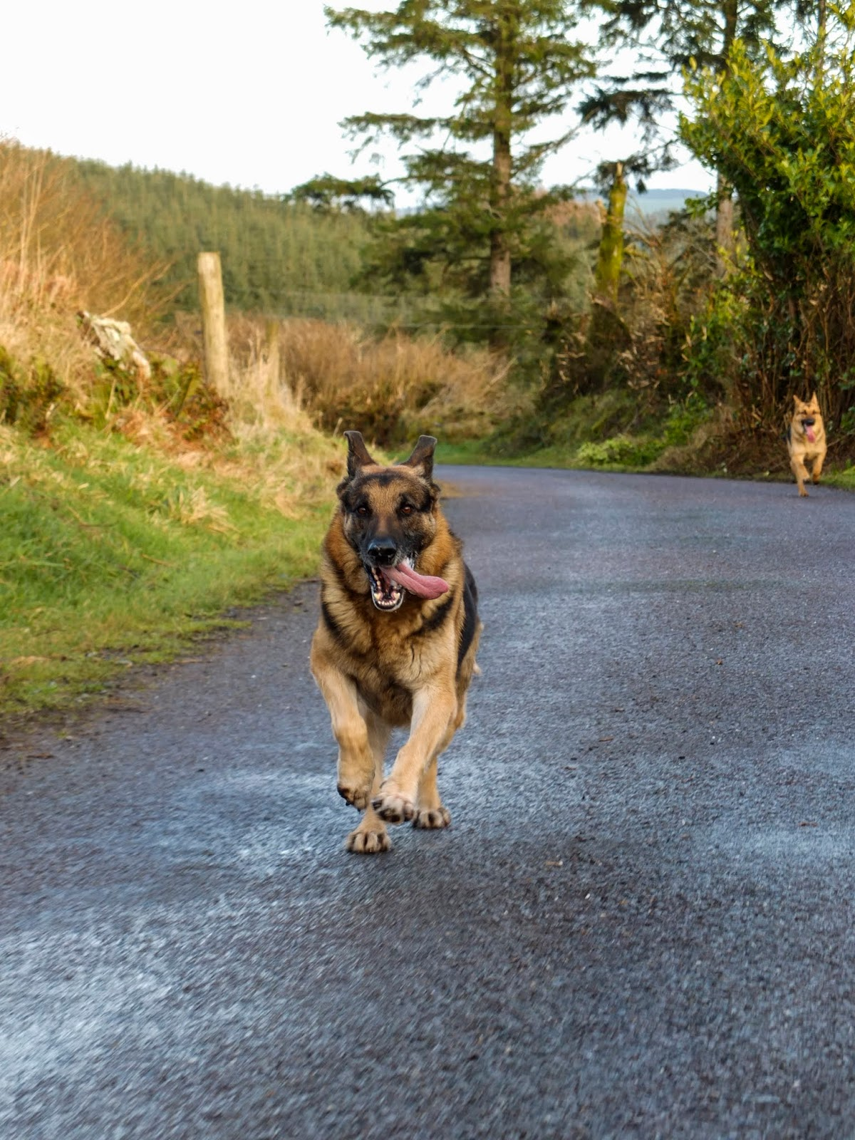 A German Shepherd Steve leading the way in a race.