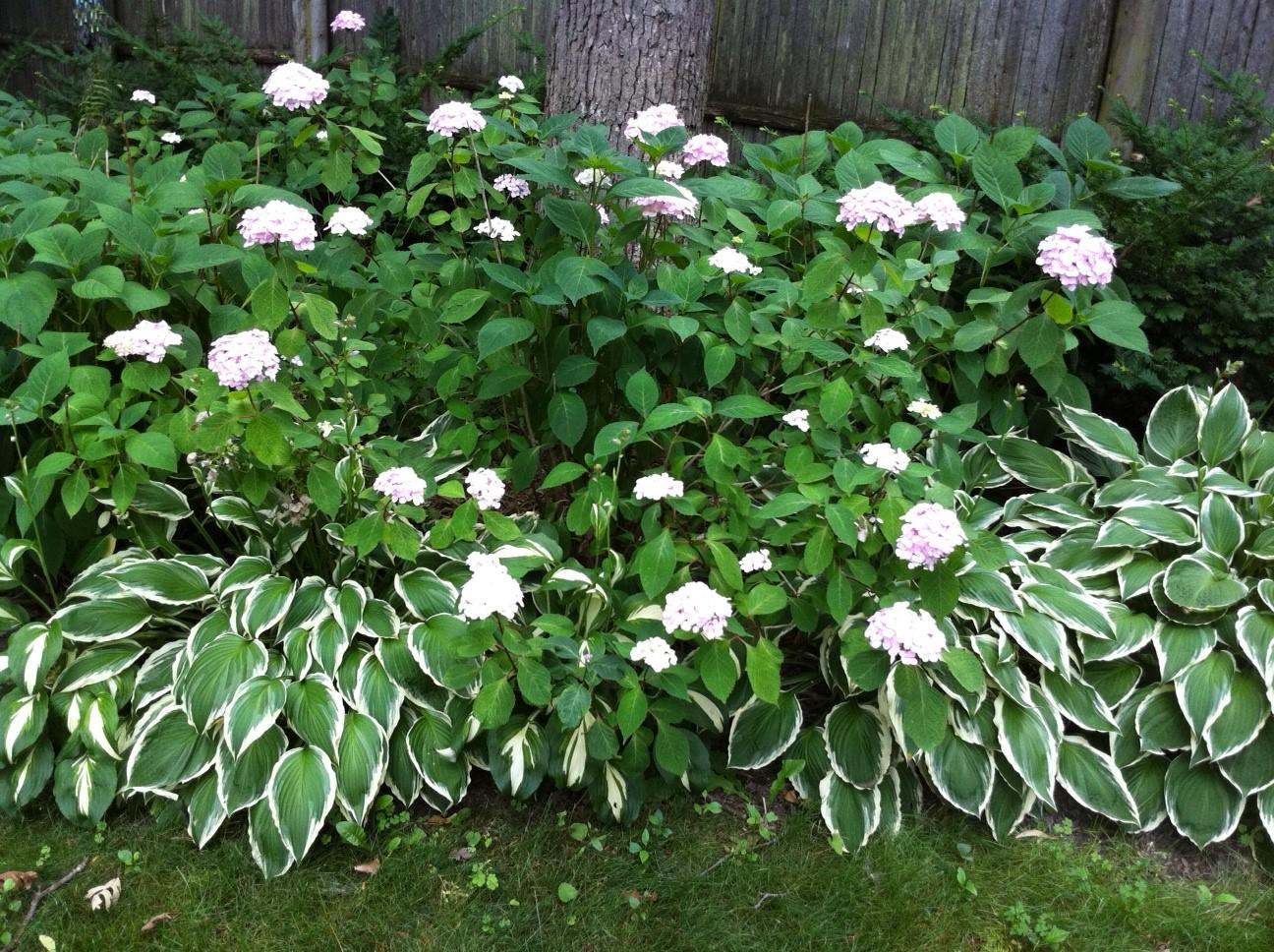 Teresas Garden Song I Love Hostas Perfect Shade Garden Perennial