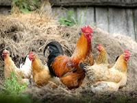 Tips Jitu Berternak Ayam Dengan Memakai Plastik UV, Menjadikan Ayam Lebih Bermutu Dan Berkualitas