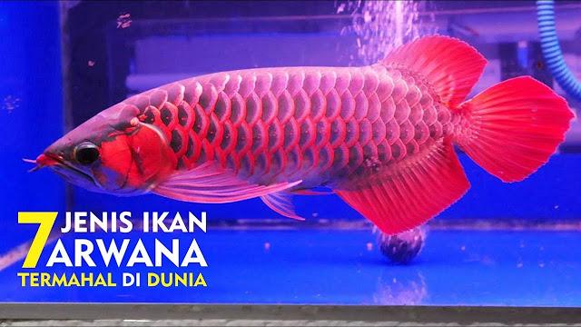 Keren! Ini Dia 7 Ikan Arwana Termahal dan Tercantik di Dunia