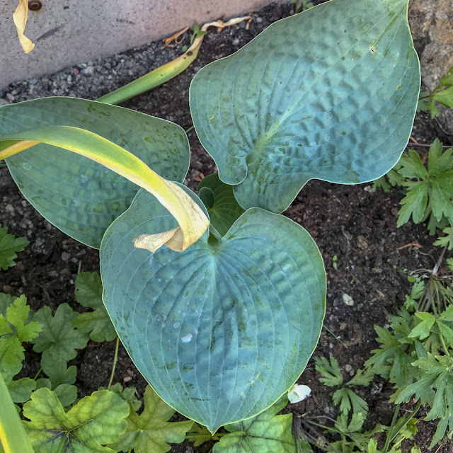 hosta, bigdaddy