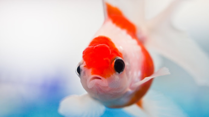 Wallpaper: Clownfish