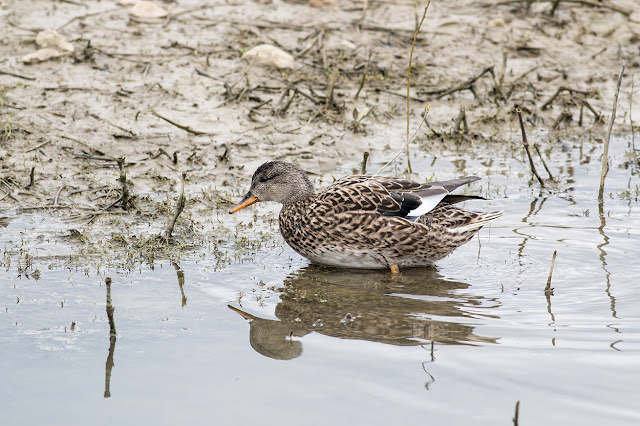 Female Gadwall exiting the water