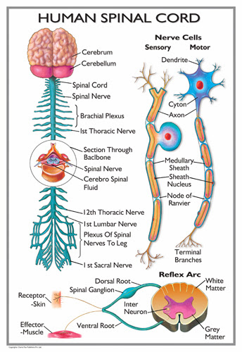 The Spinal Cord: The Spinal Cord Worksheet