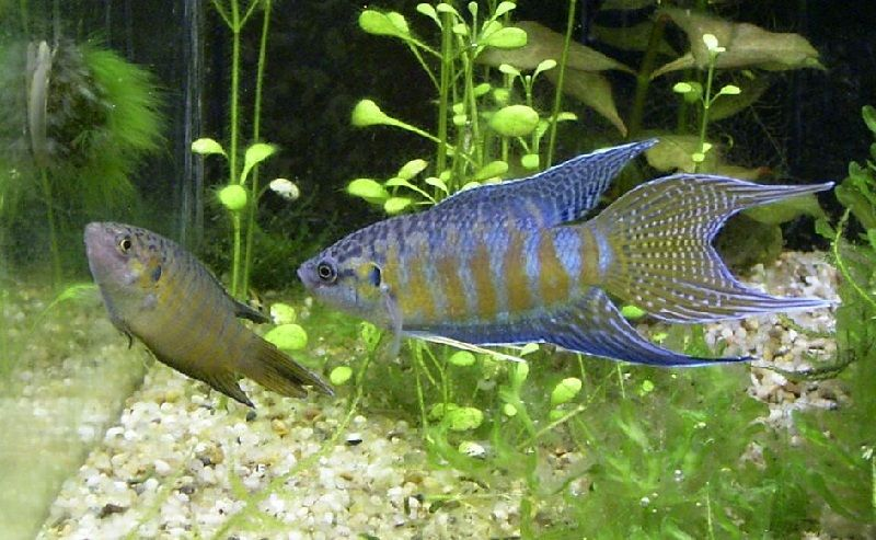 jual betta macrostoma