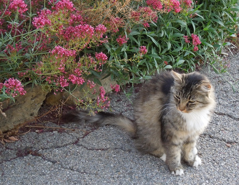 2019 Paso Robles and Templeton Wine Country Calendar: Peachy Canyon Maine Coon Cat