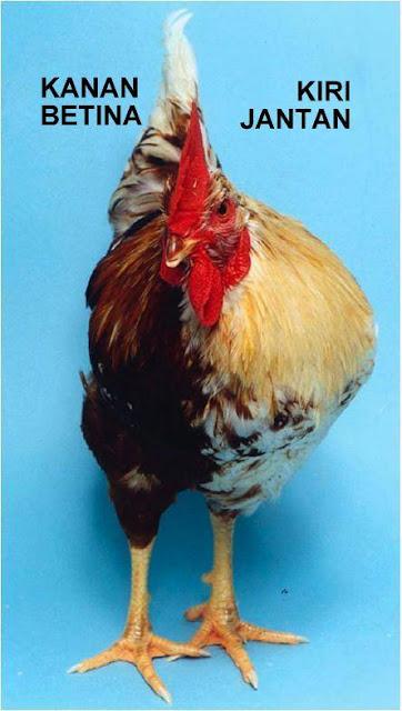 ayam halfsider