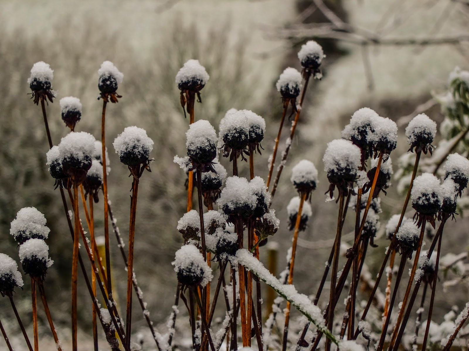 A close up of snow capped flower heads.