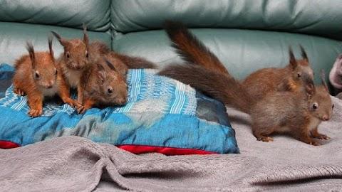 Felcseperedtek a mentett mókusok