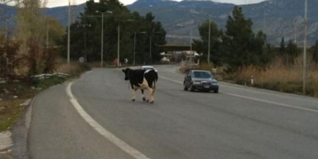Τροχαίο ατύχημα με... αγελάδα - Τραυματίες μητέρα με την κόρη της