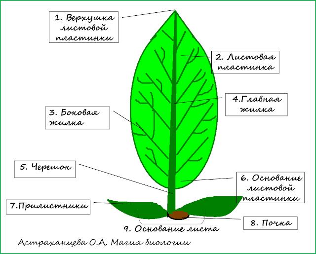 stroenie-lista-magija-biologii