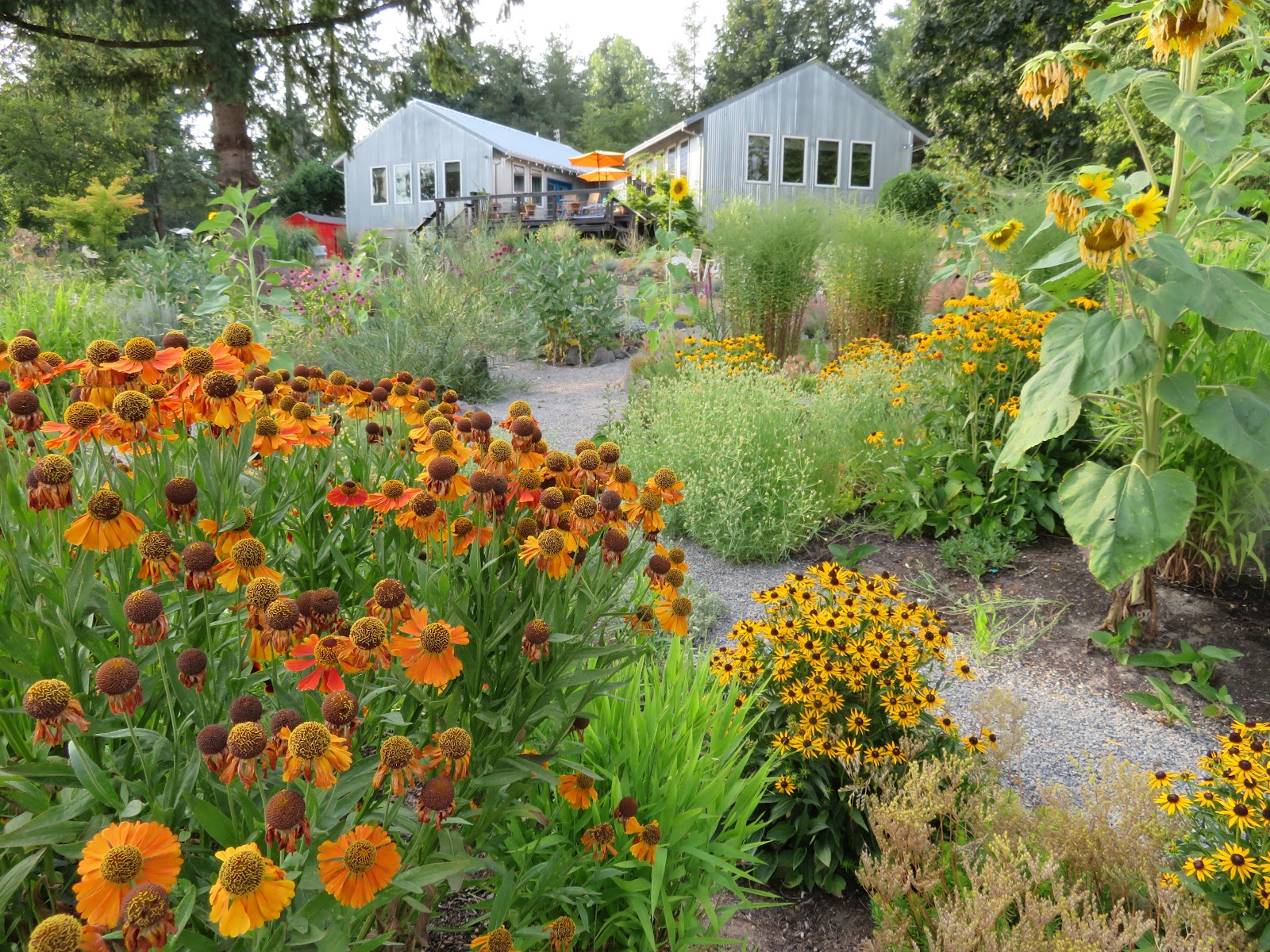 Rudbeckia: leaving and landing. Sunny flower in your garden
