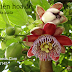 Lạc tiên hoa đỏ,Red Passion Flower Seeds (Passiflora alata)