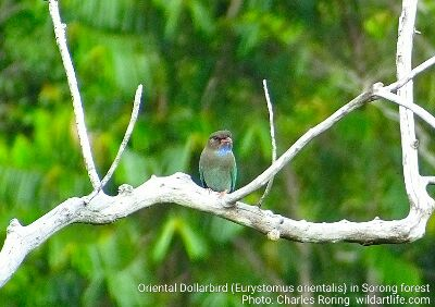 Birding Tour in rainforest of Sorong city - Oriental Dollarbird
