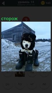 На снегу на фоне амбара стоит собака сторож в теплой одежде и шапке