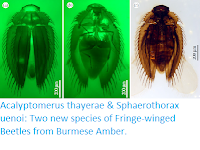 http://sciencythoughts.blogspot.com/2019/04/acalyptomerus-thayerae-sphaerothorax.html