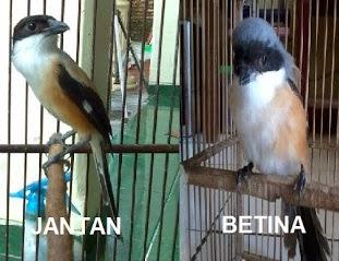 Cara Membedakan Burung Cendet Jantan dan Betina Cara Membedakan Burung Cendet Jantan dan Betina