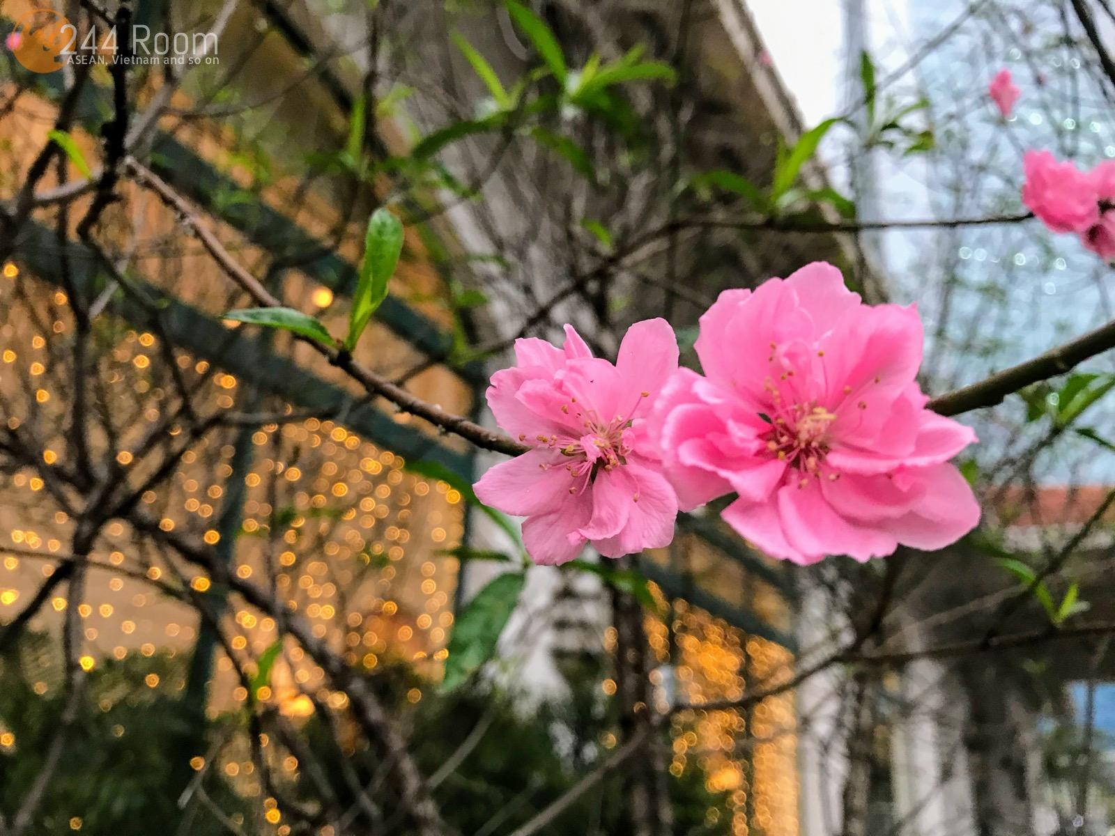Peach-blossom-hanoi ハノイの桃の花2