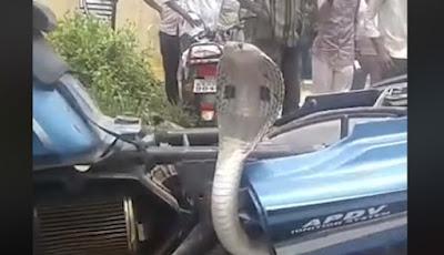 Ular kobra menduduki sepeda motor.