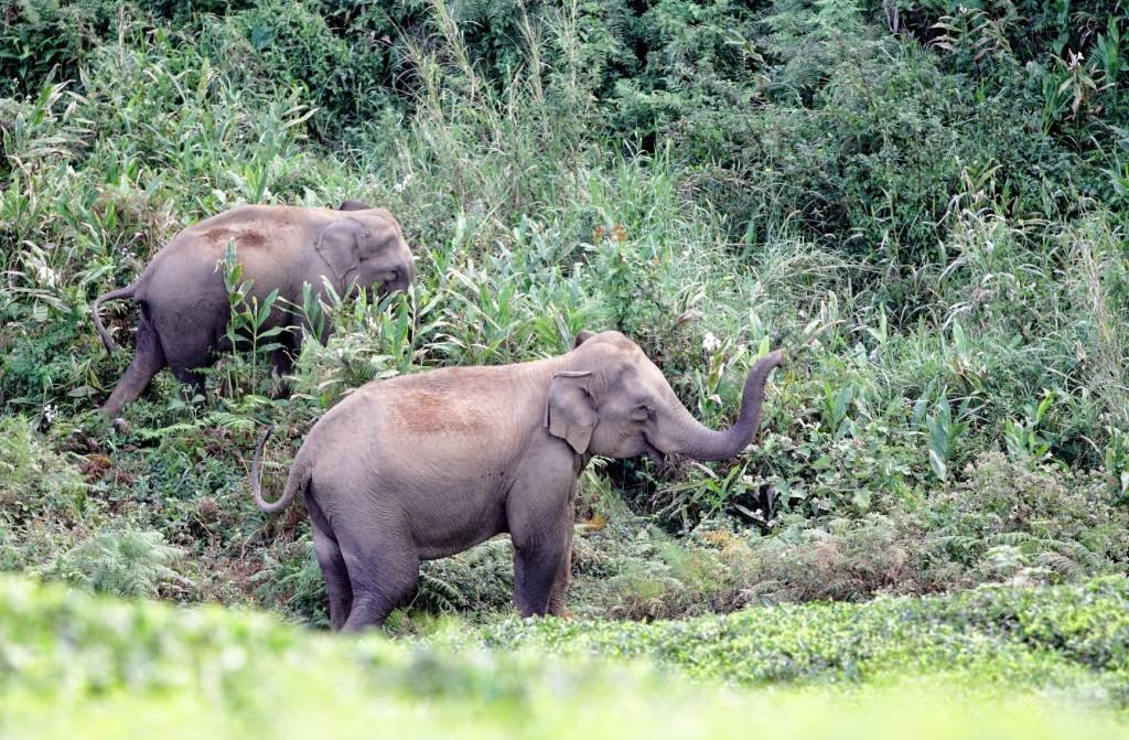 éléphant sauvage inde