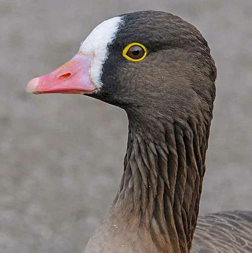Lesser white-fronted goose - Anser erythropus