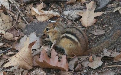Eastern Chipmunk (Tamias striatus)