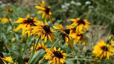 Rudbeckia. Flores silvestres norteamericanas muy apreciadas en los jardines de todo el mundo