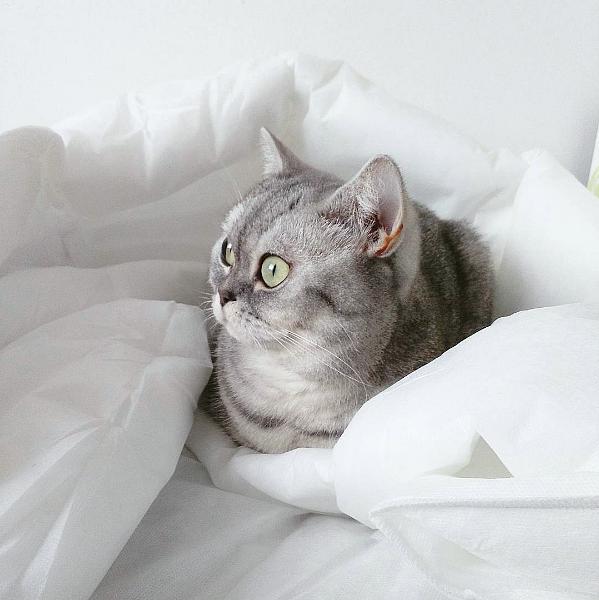 Instagram britská tečkovaná kočka