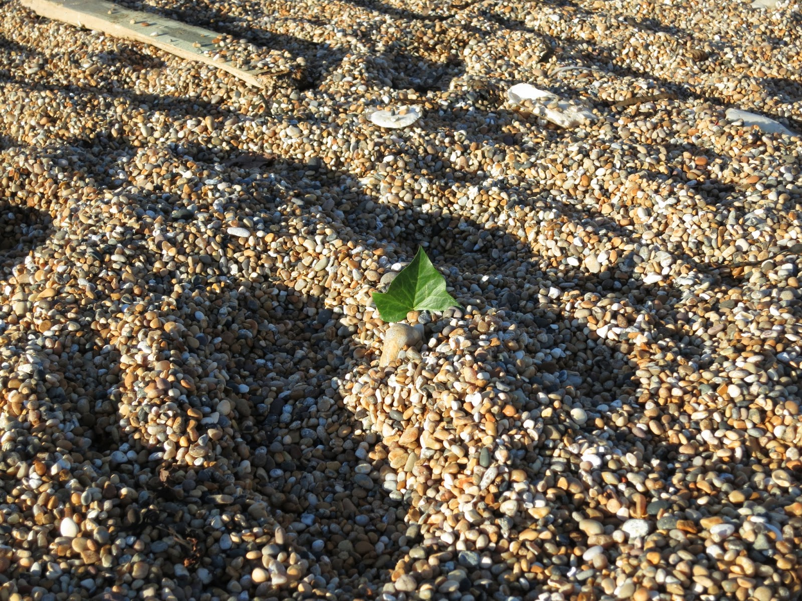One ivy leaf sticking out of pebbles at West Bay, Dorset