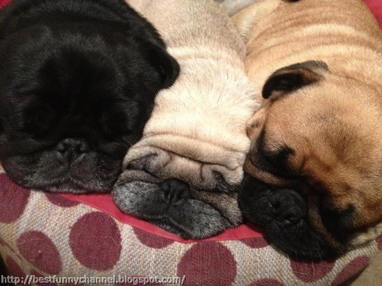 Three sleeping pug.