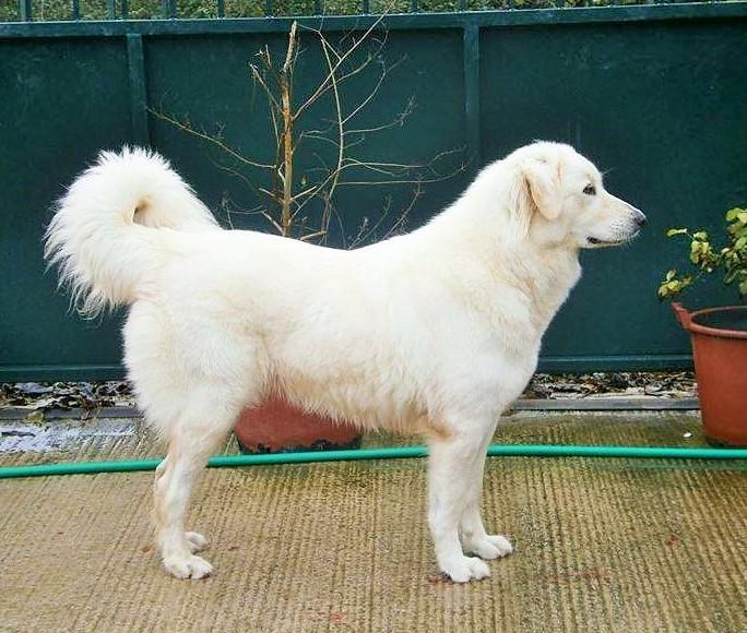 Αποτέλεσμα εικόνας για Λευκό Ελληνικό Τσοπανόσκυλο