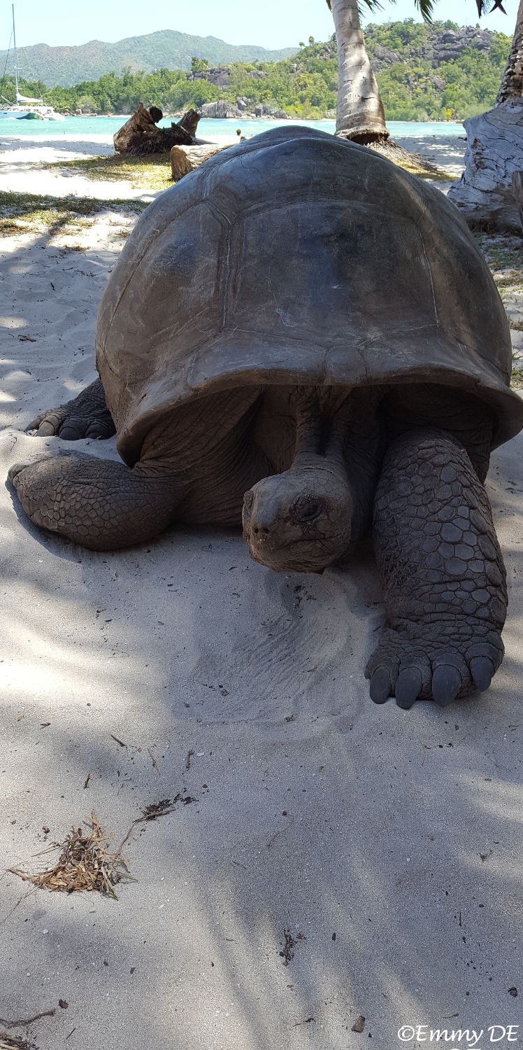 #turtles @ Curieuse Island ~ Seychelles by ©Emmy DE