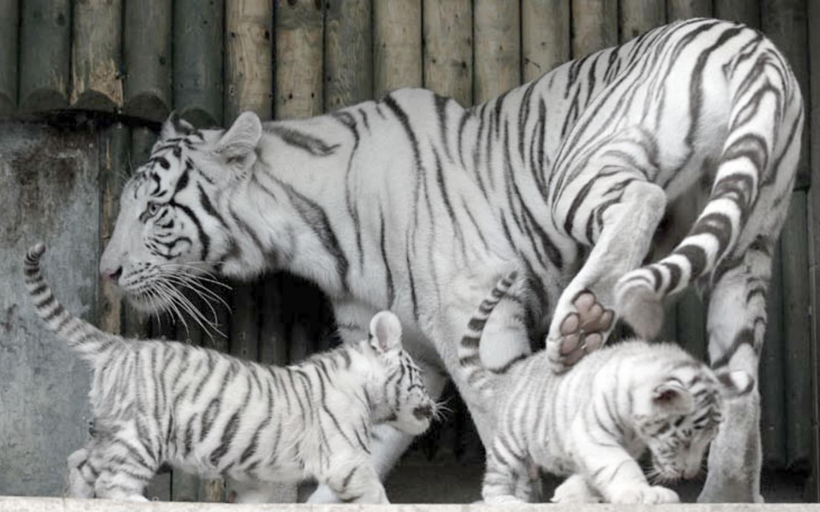 Cute Lion Cubs Hd Wallpapers Baby White Tigers Wallpapers 2013 Wallpapers