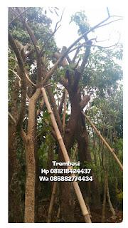 Harga jual tanaman trembesi batang besar murah
