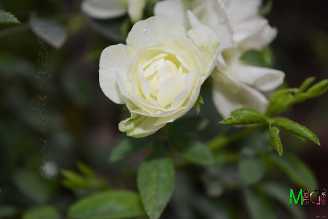 Metro Greens: Miniature White Rose