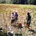 Bersama TNI,  Petani Kradenan Panen Jagung