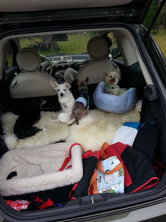 Methuselah and other dogs in trunk of hatchback