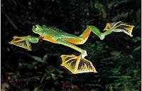 broască-zburătoare-de-jawa