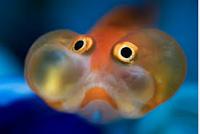 Jenis Ikan Koki mata gelembung