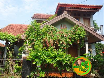 FOTO : Tanaman Melati Belanda (Chinese Honeysuckle) dirambatkan di pergola / kanopi dan pagar rumah amang.