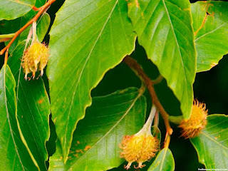 Beechnut fruit images wallpaper