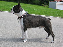 Black and White Boston Terrier in standing position