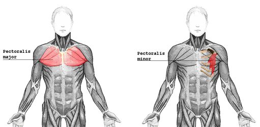 Food, Fitness and Sport: Muscle Groups - The Chest