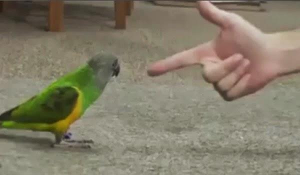Resultado de imagem para papagaio arma