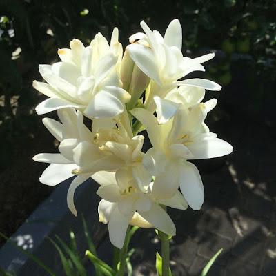 manfaat bunga sedap malam untuk mistis