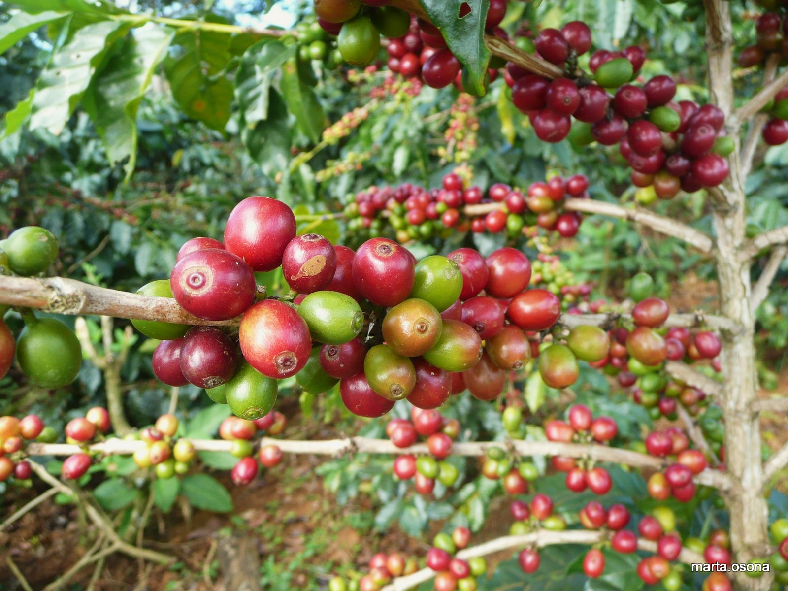 Costa Coffee Arabica Robusta Brazil Robusta Coffee Prices Forecast 2016 Today Coffee