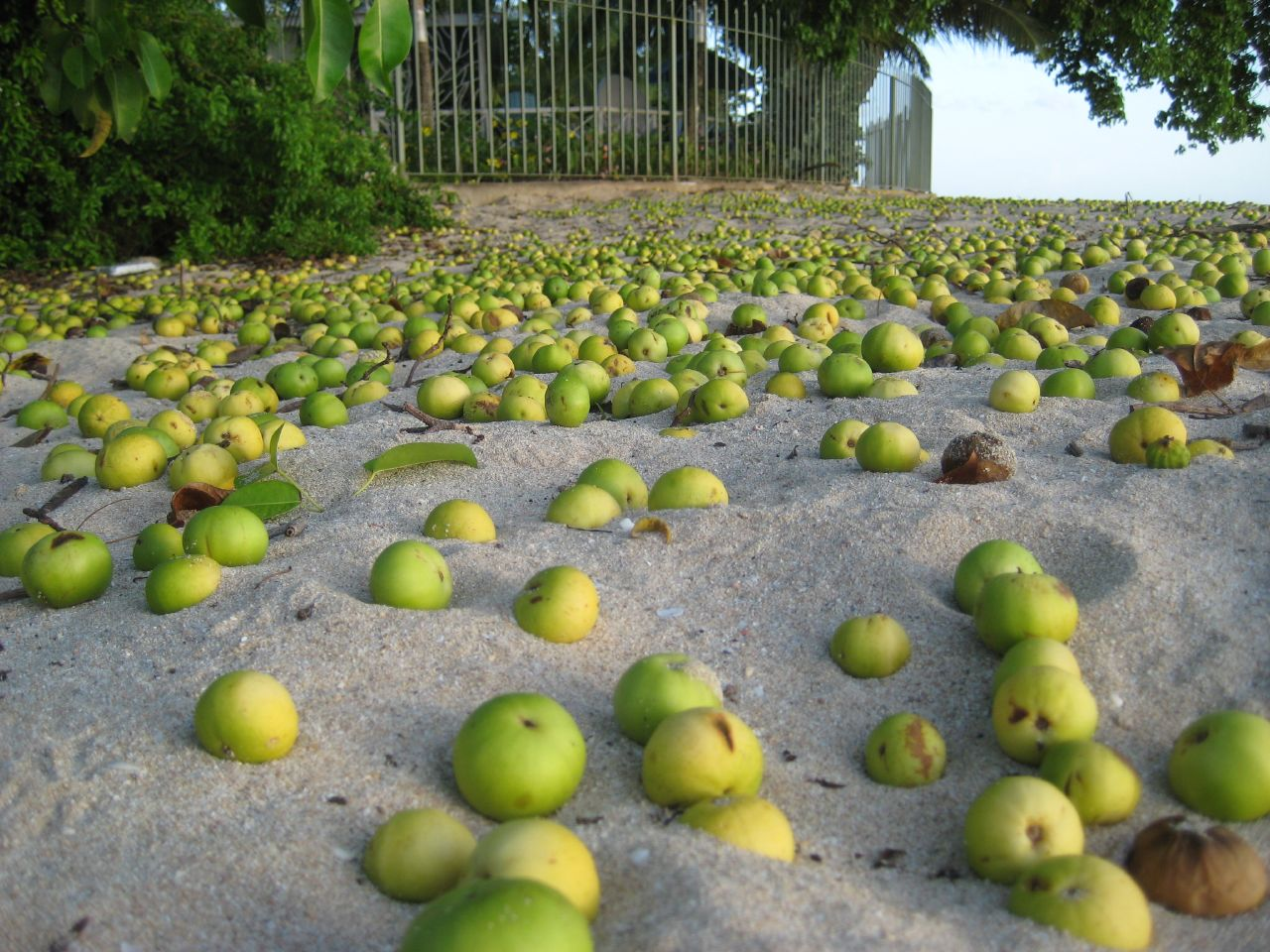 Manchineel-fruits