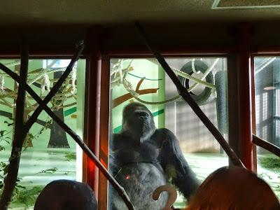 神戸市立王子動物園 ゴリラ